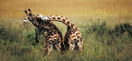 national-geographic-giraffe