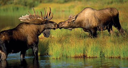 national-geographic-moose
