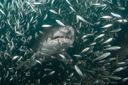 national-geographic-shark