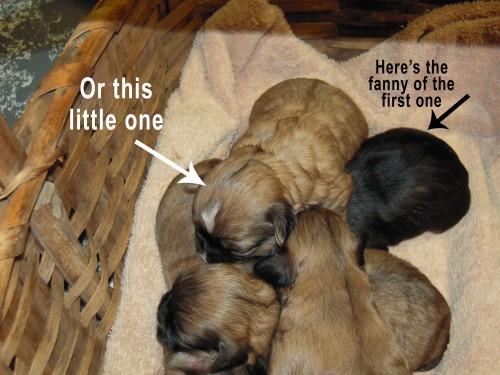shih-poo_puppies_3